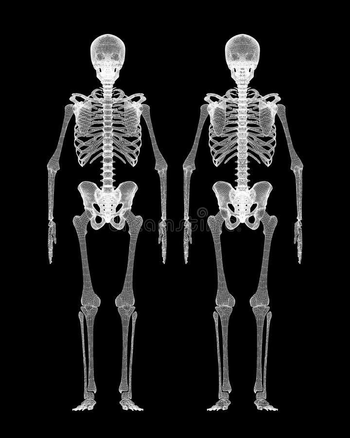 Menschlicher Körper, Skelett Stock Abbildung - Illustration von ...