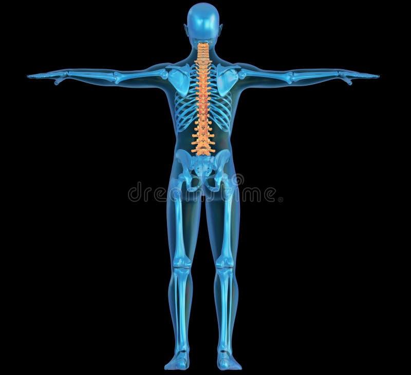 Menschlicher Körper, Skelett Und Dorn Stock Abbildung - Illustration ...