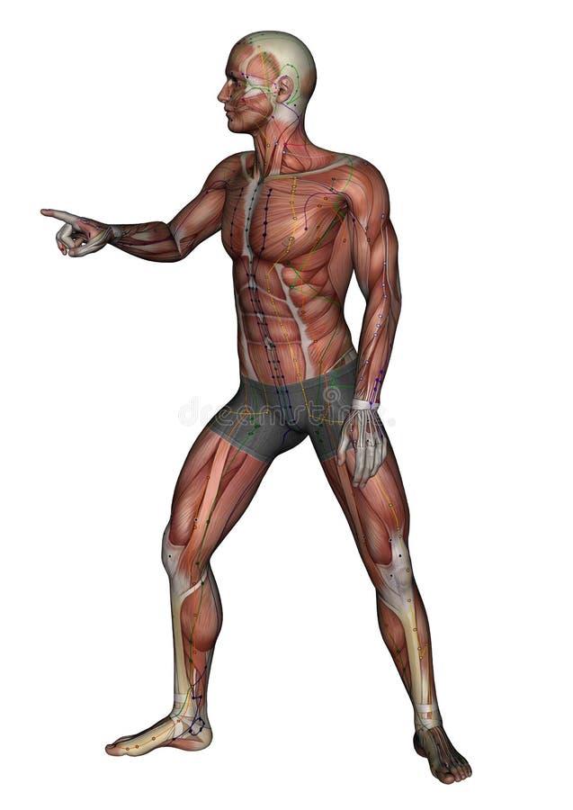 Menschlicher Körper - werfen Sie musc aucu 03, Modell 3D auf vektor abbildung