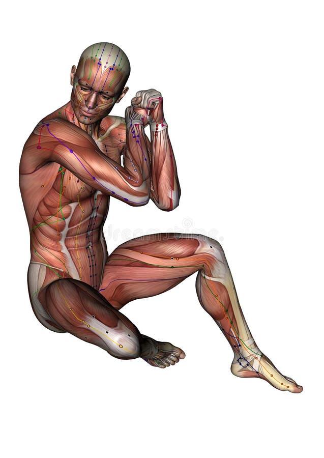 Menschlicher Körper - werfen Sie musc Klimaanlage ab02, Modell 3D auf vektor abbildung