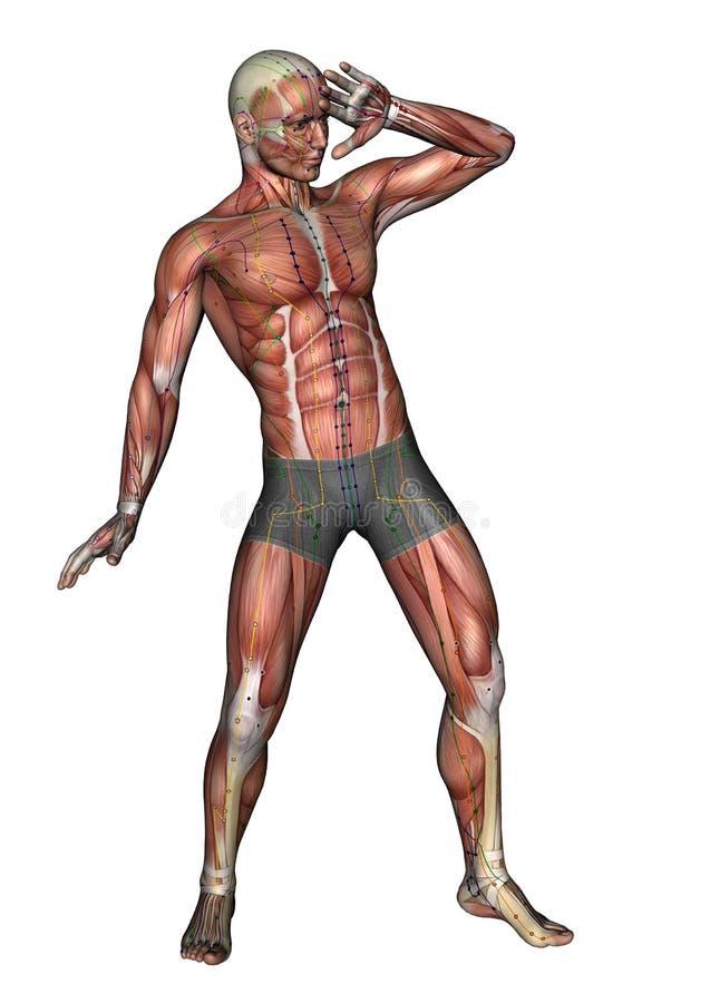 Menschlicher Körper - werfen Sie musc Klimaanlage 05, Modell 3D auf stock abbildung