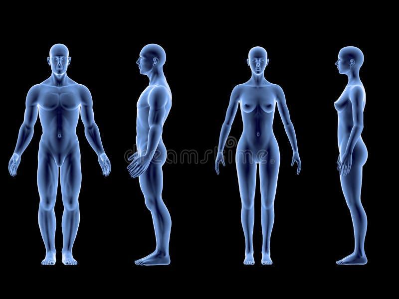 Menschlicher Männlich-weiblicher Körper Des Strahls X Lokalisiert ...
