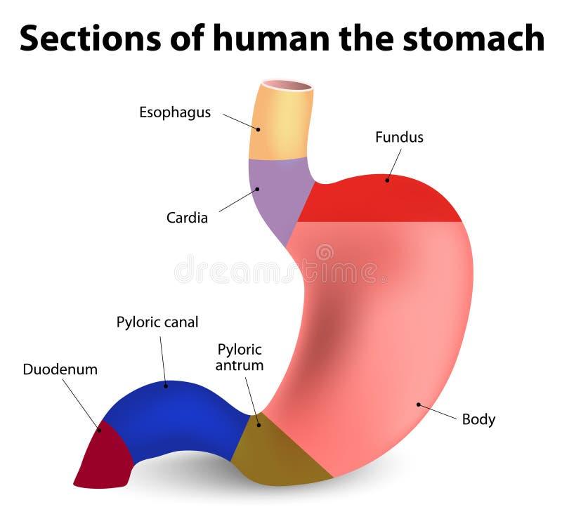Menschlicher Magen vektor abbildung. Illustration von ösophagus ...