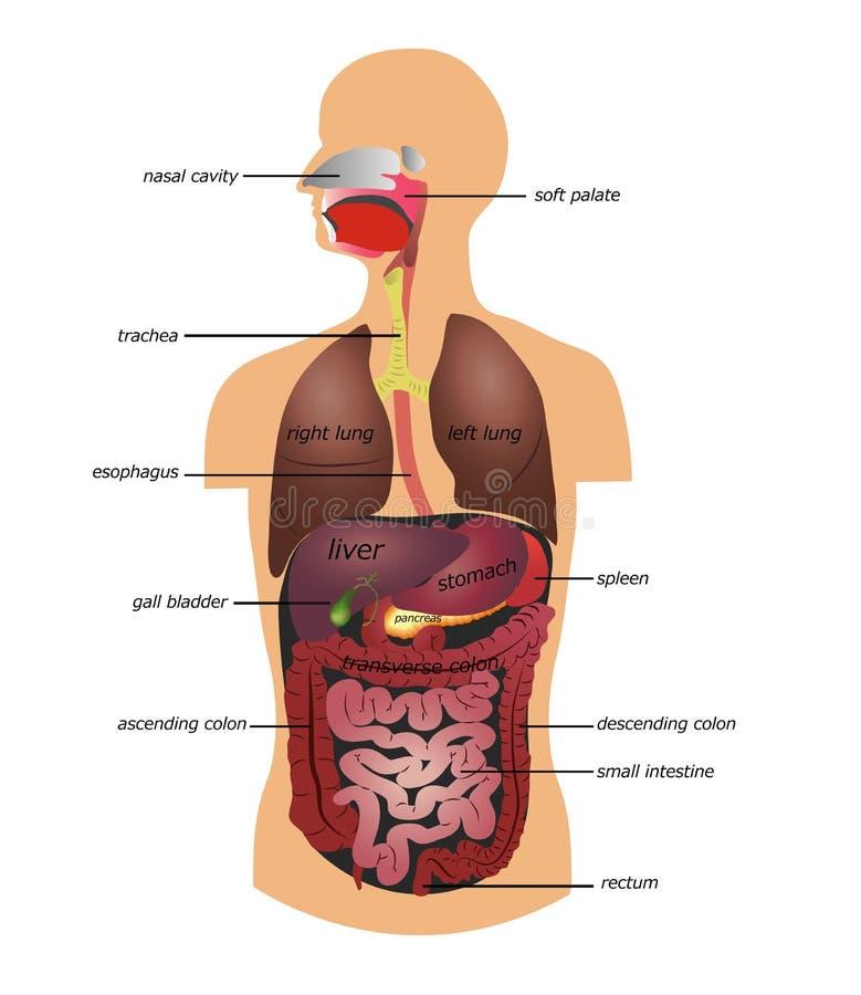 Menschlicher Magen-Darm-Kanal Vektor Abbildung - Illustration von ...