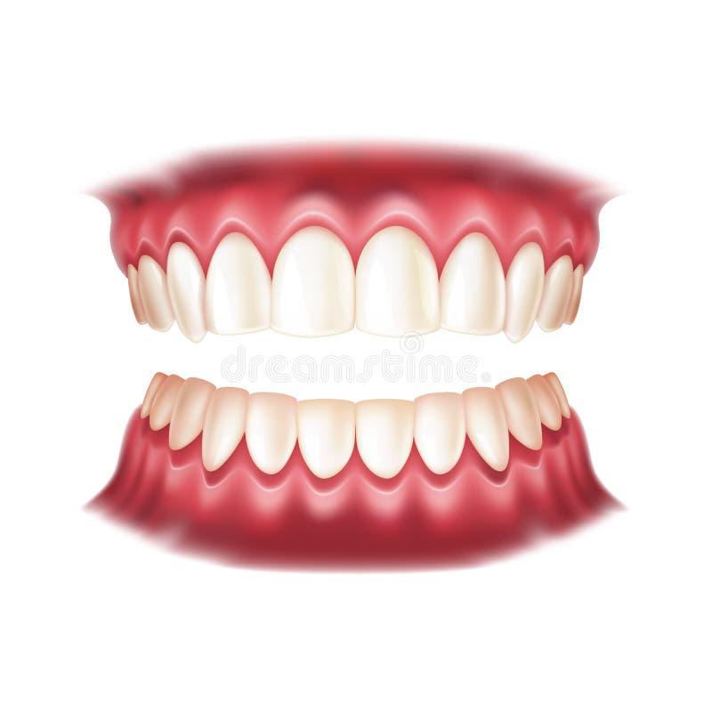 Menschlicher Mund der realistischen Gebisse des Vektors mit den Zähnen vektor abbildung