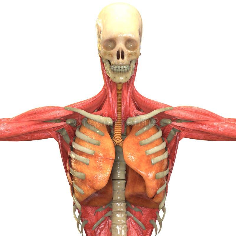 Groß Anatomie Muskel Kennzeichnung Fotos - Anatomie und Physiologie ...