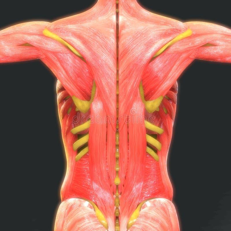 Menschlicher Muskel-Körper Mit Skeleton Anatomie Stock Abbildung ...