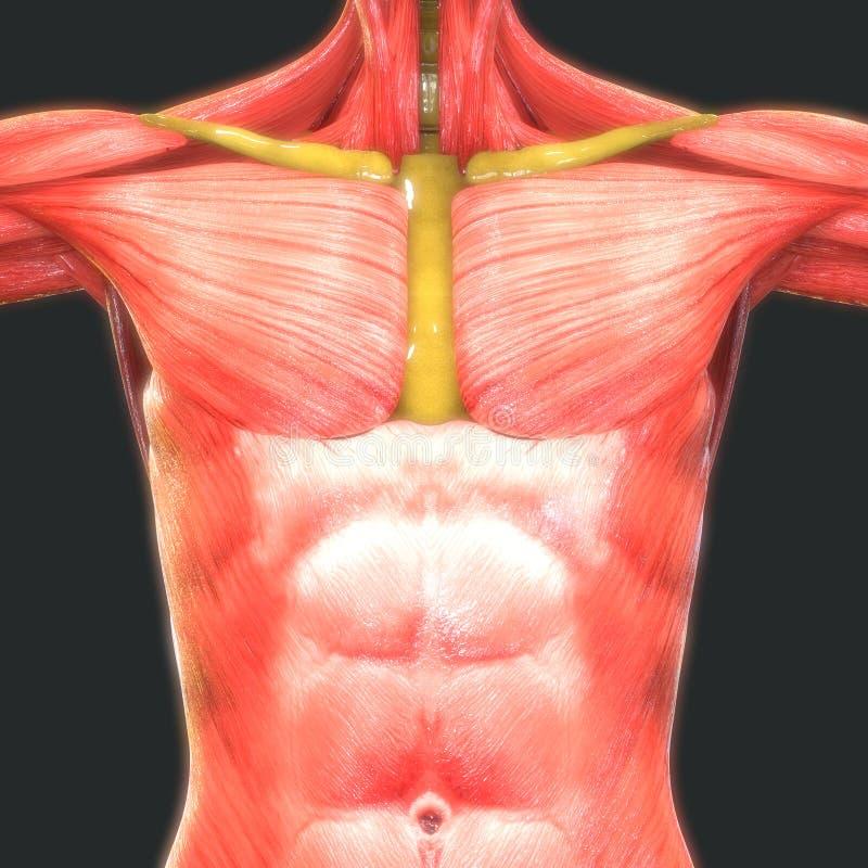 Gemütlich Mcgraw Hill Menschliche Anatomie Und Physiologie Bilder ...