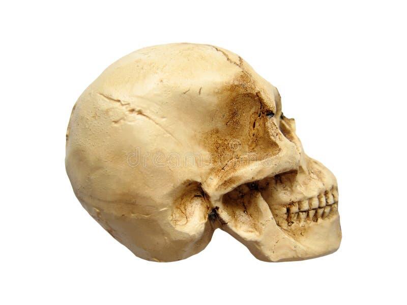 Menschlicher Schädel stockfoto