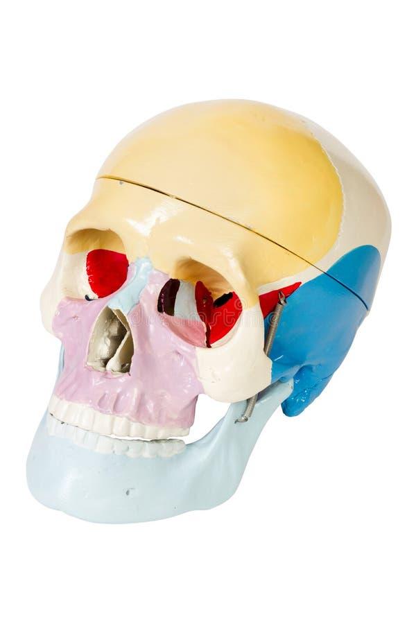 Menschlicher Schädel, Anatomiebaumuster lizenzfreie stockfotografie