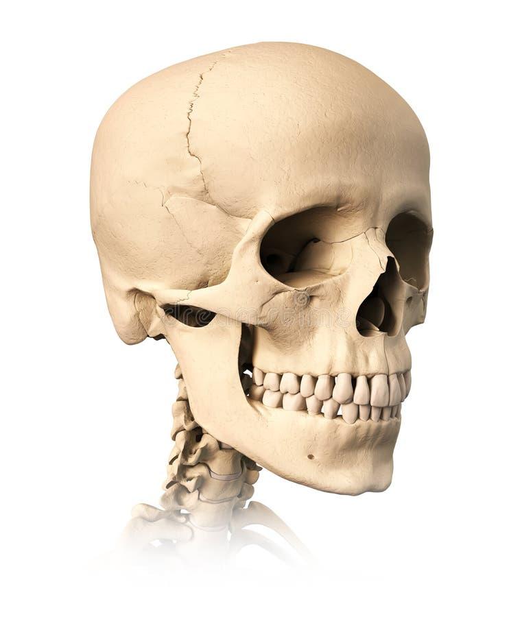 Menschlicher Schädel in der Perspektiveansicht. lizenzfreie abbildung