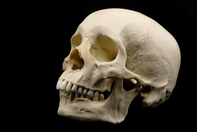 Menschlicher Schädel getrennt auf Schwarzem stockfotos