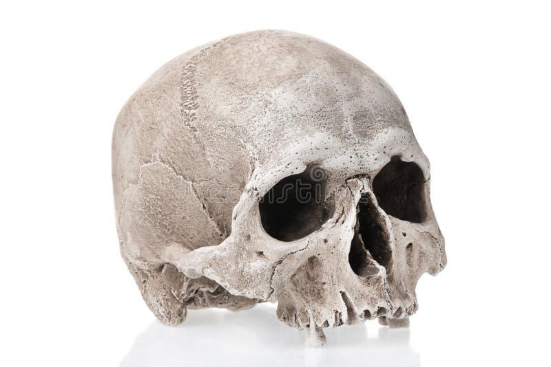 Menschlicher Schädel lokalisiert auf weißem Hintergrund mit Reflexion stockbilder