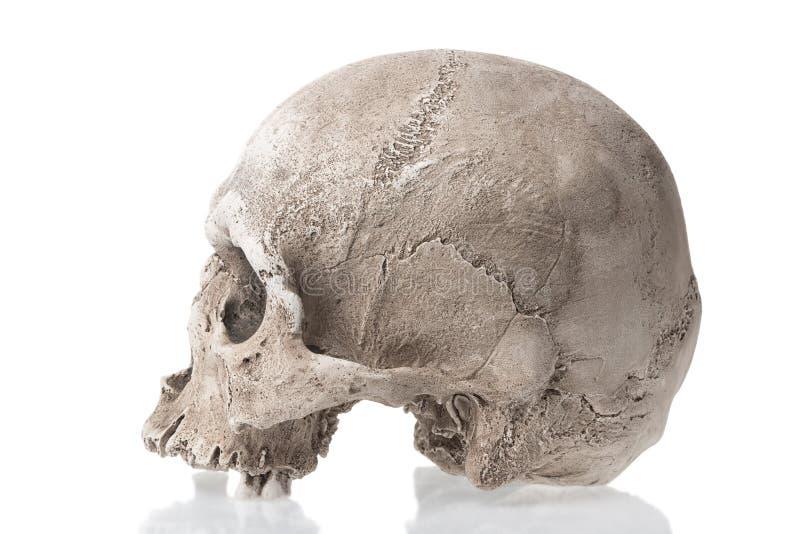 Menschlicher Schädel lokalisiert auf weißem Hintergrund mit Reflexion Weicher Fokus lizenzfreies stockbild