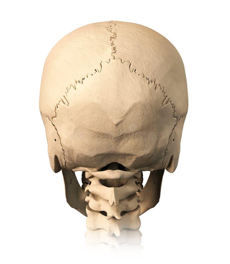 Menschlicher Schädel, rückseitige Ansicht. lizenzfreie abbildung