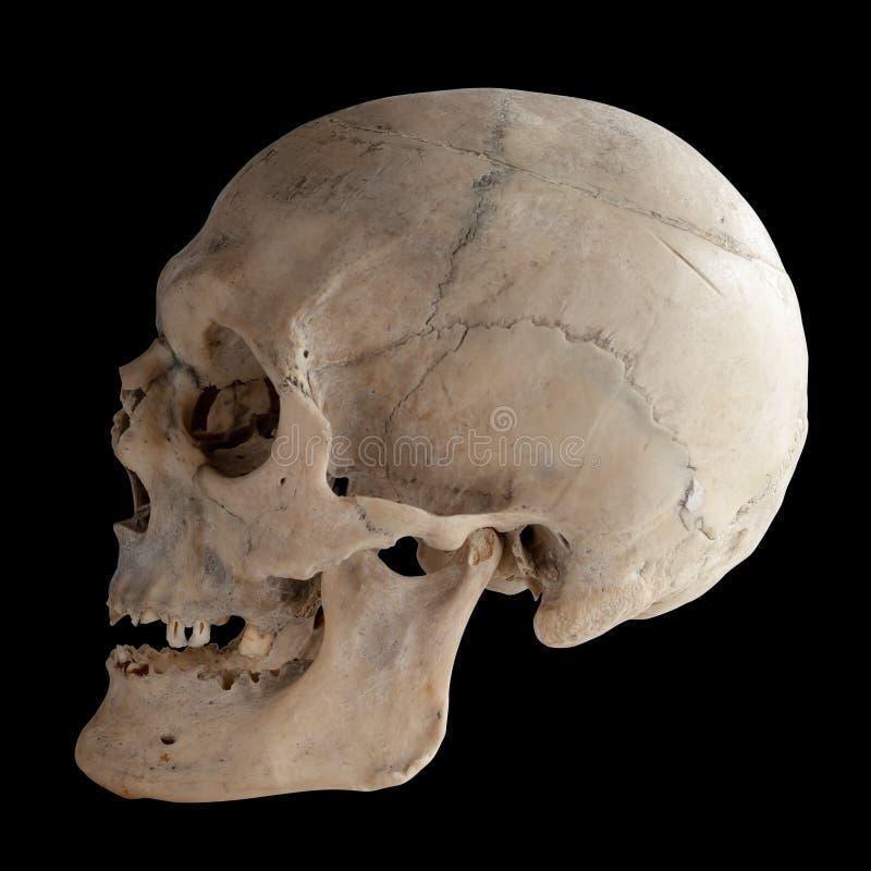 Menschlicher Schädel, Seitenansicht lizenzfreie stockfotografie