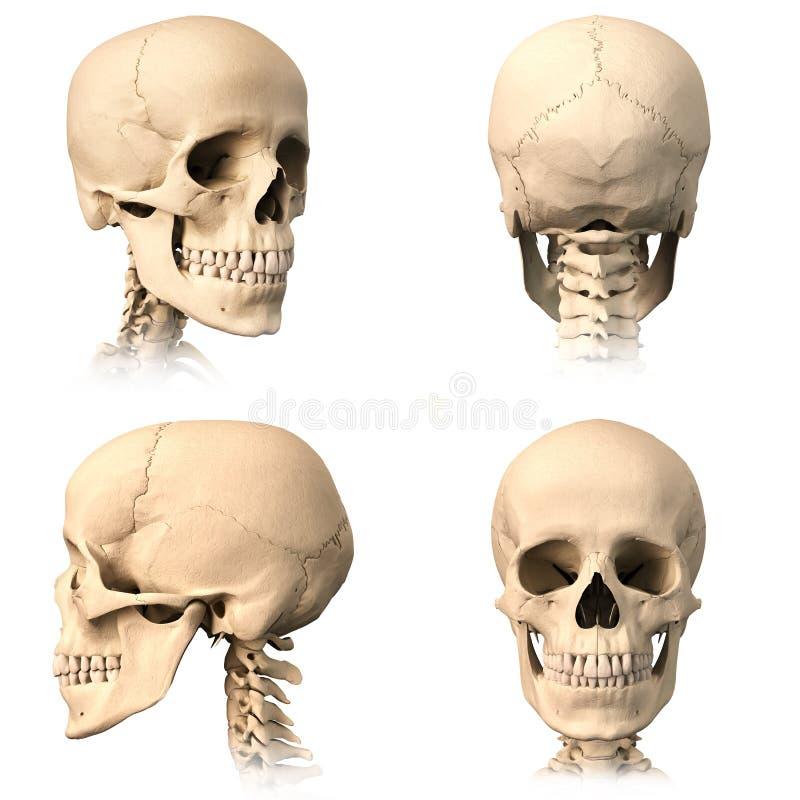 Menschlicher Schädel, Vier Ansichten. Stock Abbildung - Illustration ...