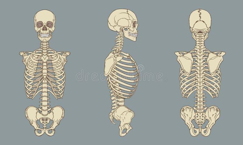 Menschlicher Torso-skelettartiger Anatomie-Satz-Vektor stock abbildung