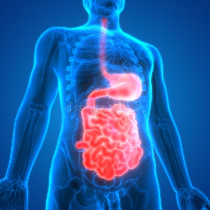 Menschlicher Verdauungssystem Anatomie-Magen Mit Dem Dünndarm Stock ...