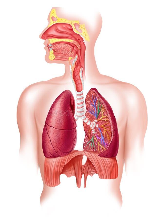 Menschlicher voller Atmungssystemsquerschnitt. lizenzfreie abbildung