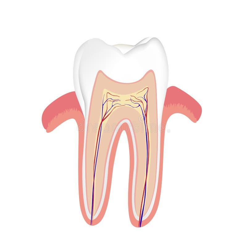 Menschlicher Zahn stock abbildung. Illustration von anatomie - 18455973