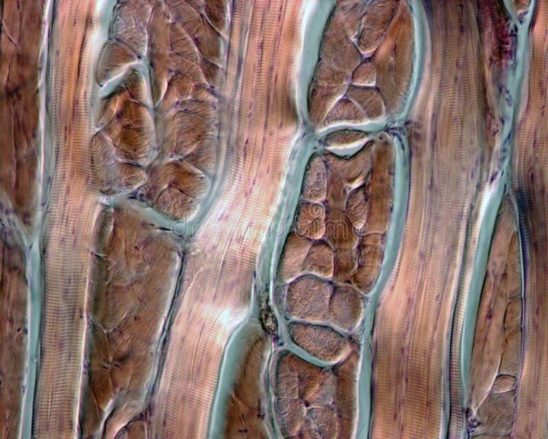 Menschlicher Zungemuskel lizenzfreies stockbild