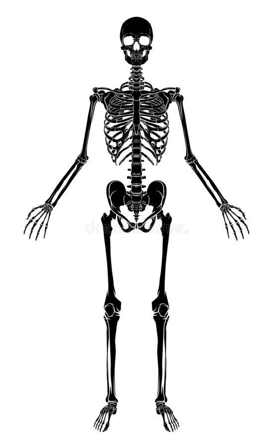 Menschliches Anatomie-Skelett Vektor Abbildung - Illustration von ...
