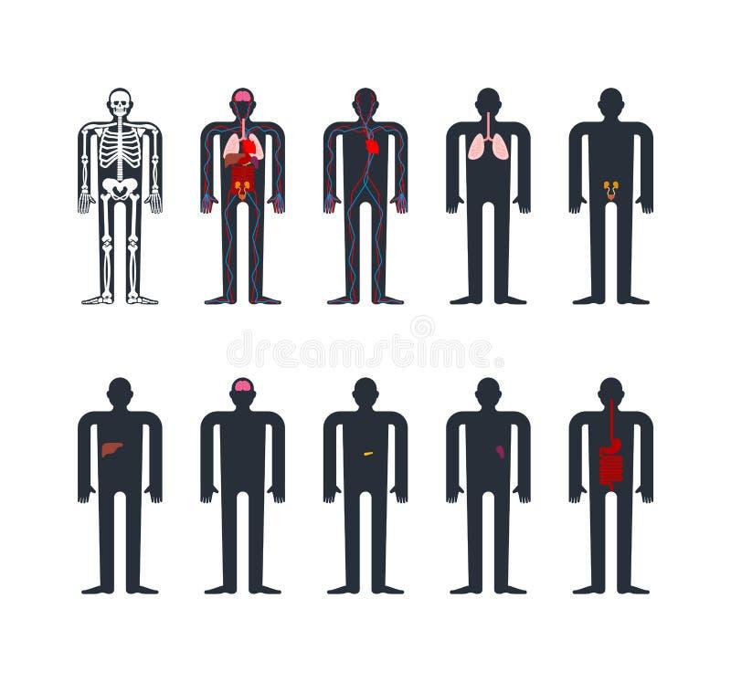 Menschliches Anatomie System Skelett und innere Organe Systeme von m lizenzfreie abbildung