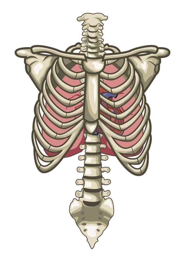 Menschliches Anatomie-Torso-Skelett getrenntes Weiß stock abbildung