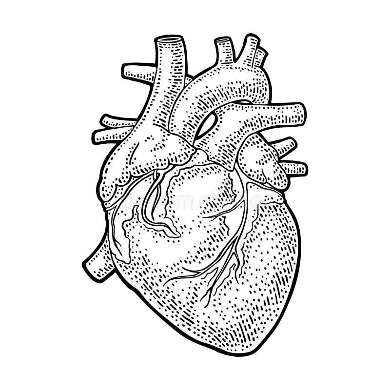 Menschliches Anatomieherz Weinlese-Stich Illustration des Vektors schwarze lizenzfreie abbildung