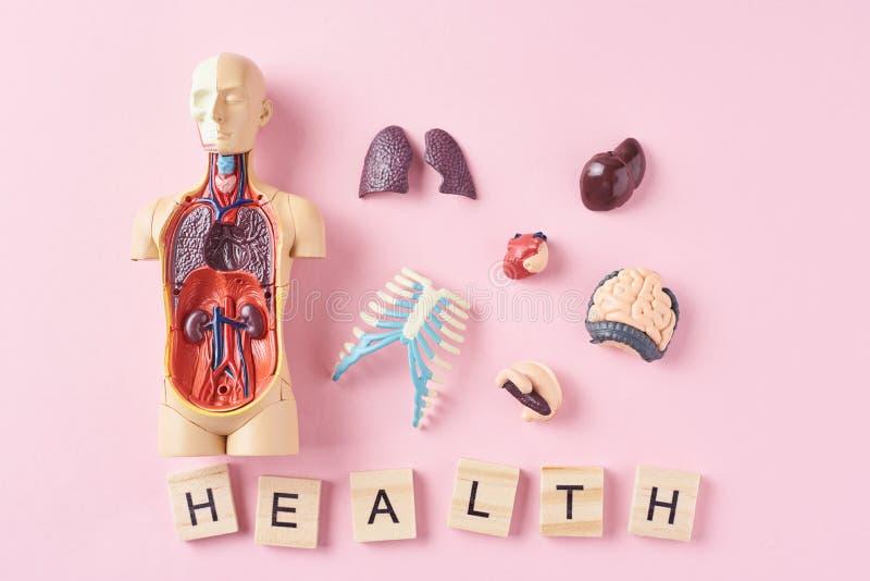 Menschliches Anatomiemannequin mit inneren Organen und Wort GESUNDHEIT auf einem rosa Hintergrund Medizinisches Gesundheitskonzep stockfotos