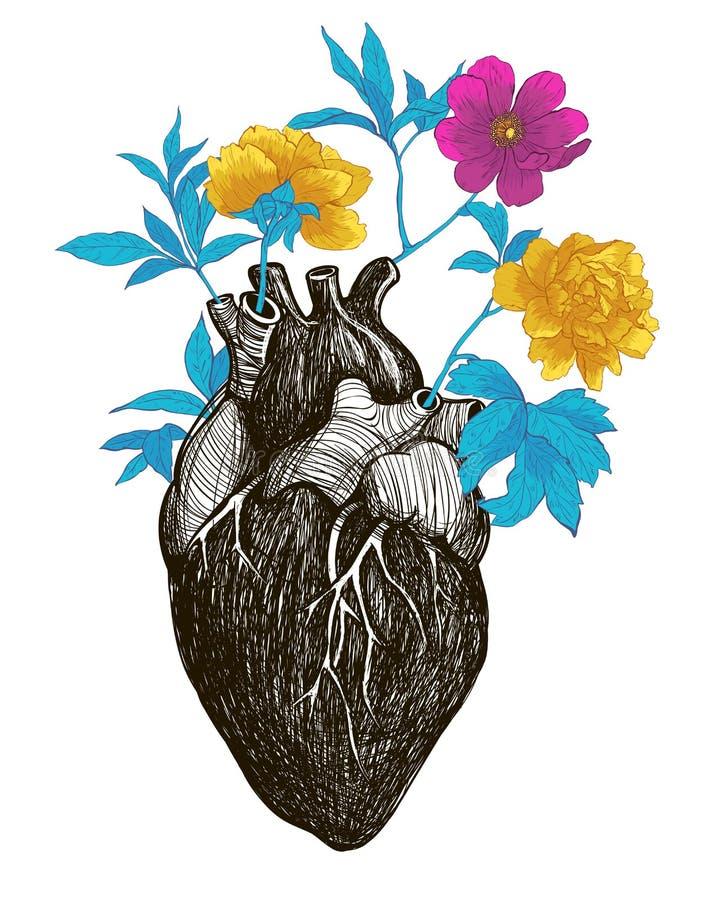 Menschliches Anatomisches Herz Vektor Abbildung - Illustration von ...