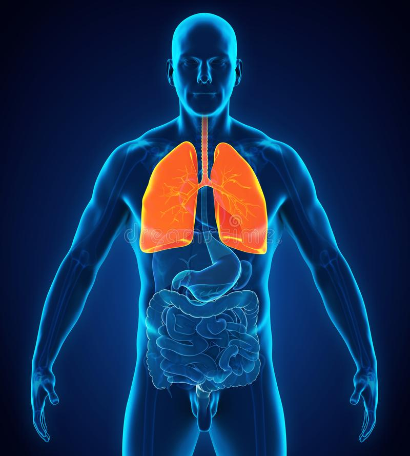 Schön Menschliches Atmungssystem Fotos - Menschliche Anatomie Bilder ...