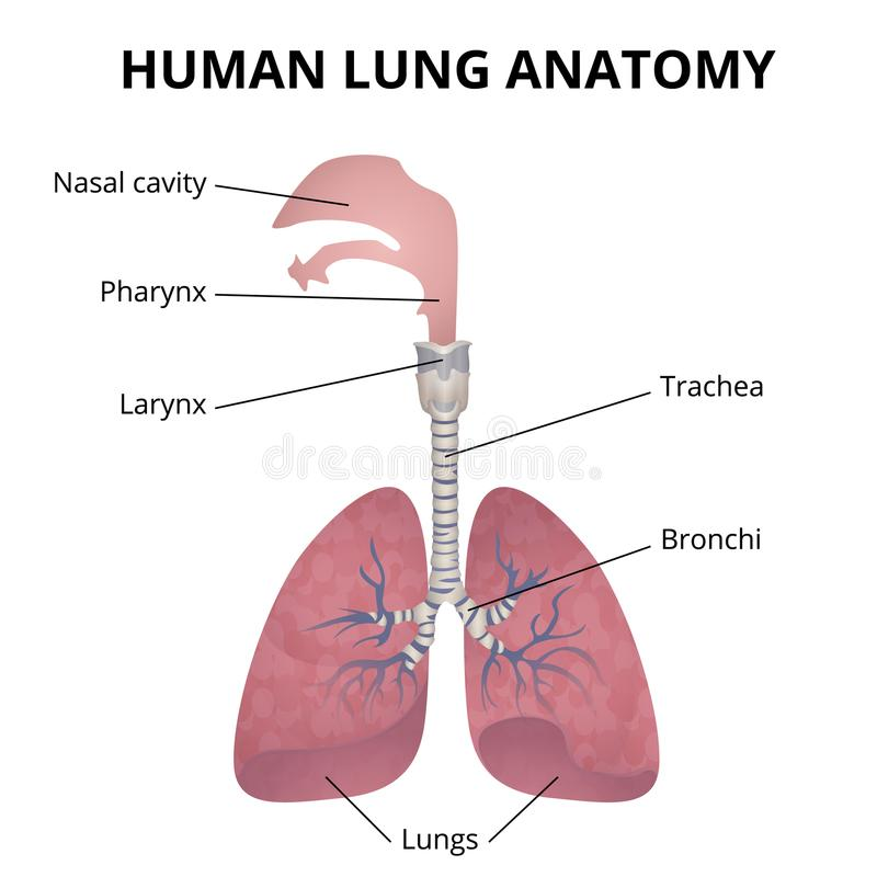 Schön Das Atmungssystem Anatomie Bewertung Ideen - Anatomie Ideen ...