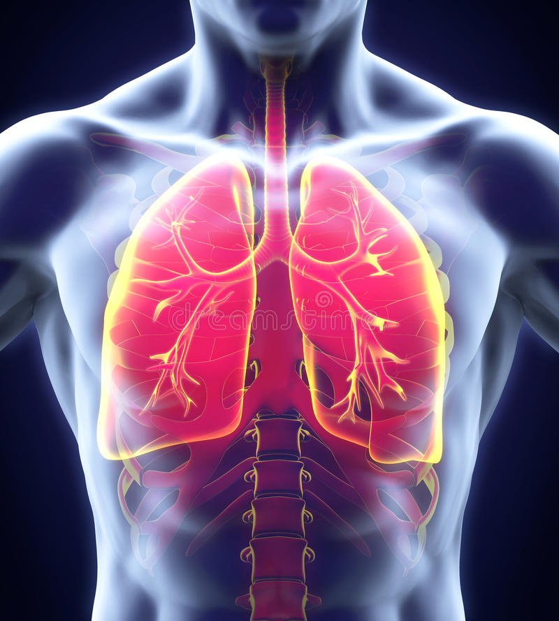 Menschliches Atmungssystem vektor abbildung