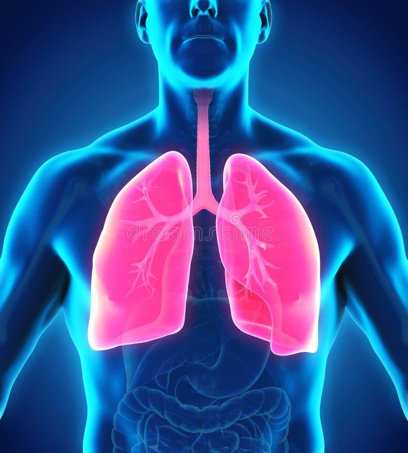 Menschliches Atmungssystem lizenzfreie abbildung