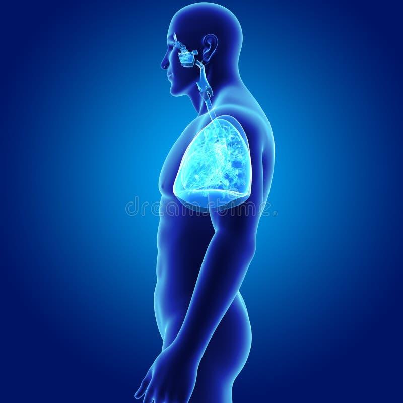 Menschliches Atmungssystem Und Herz Mit Körper-Seitenansicht Stock ...