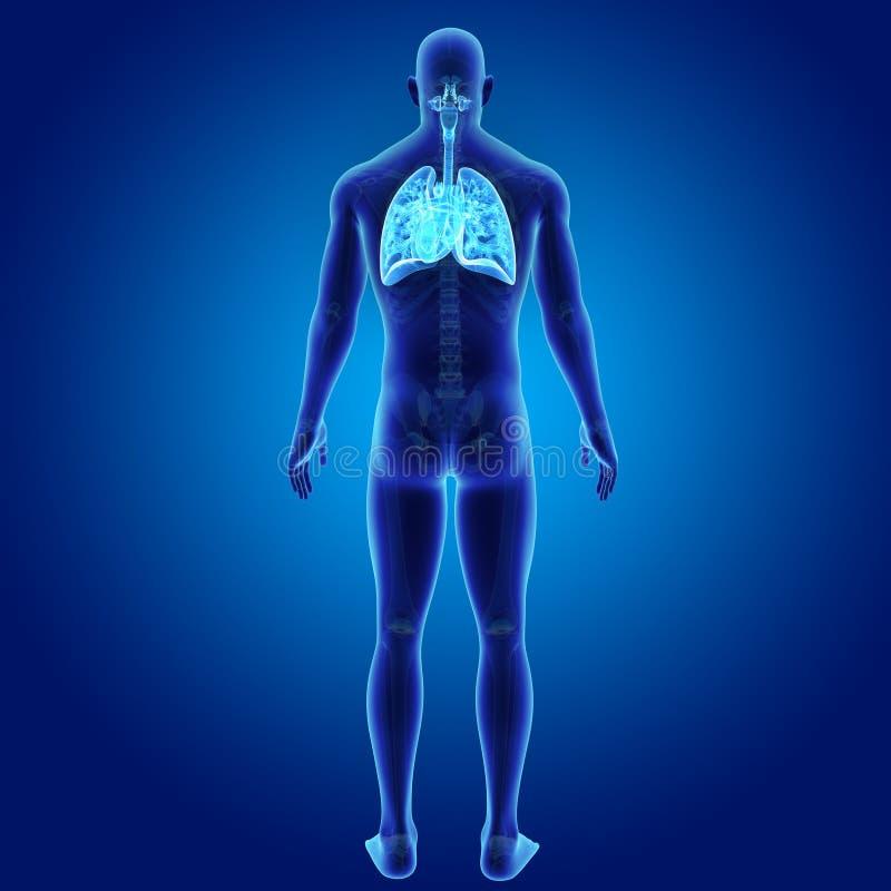 Menschliches Atmungssystem Und Herz Mit Skeleton Körper-Rückansicht ...