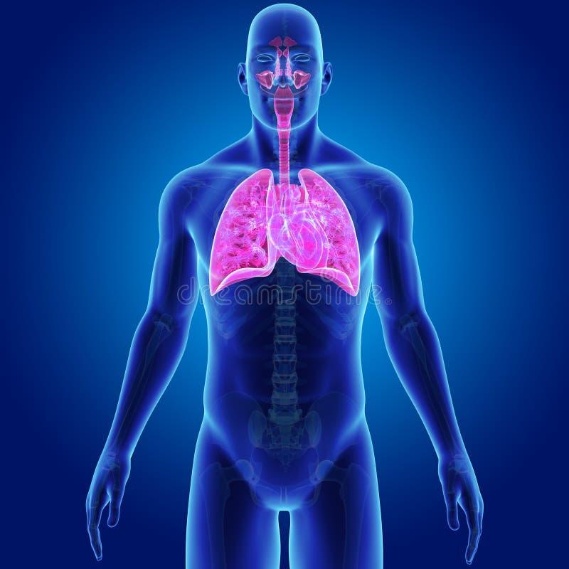 Menschliches Atmungssystem Und Herz Mit Skeleton Körper ...