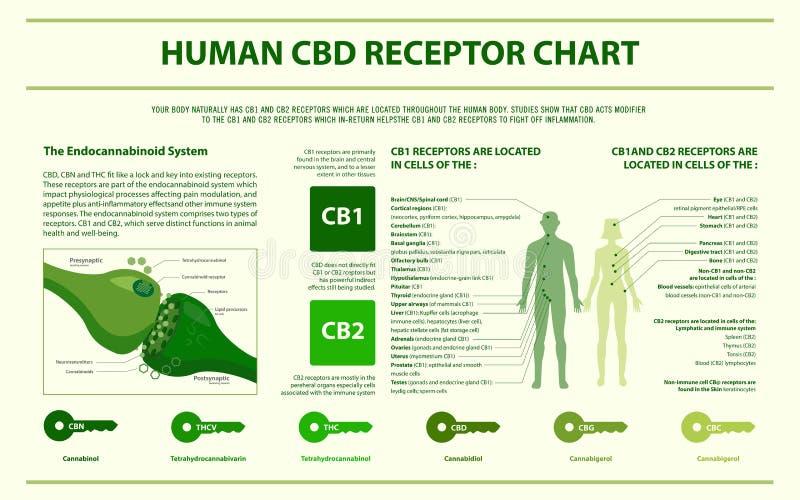 Menschliches CBD-Empfänger-Diagramm horizontales infographic vektor abbildung