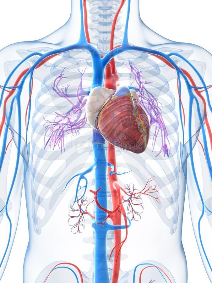 Menschliches Gefäßsystem stock abbildung. Illustration von blut ...