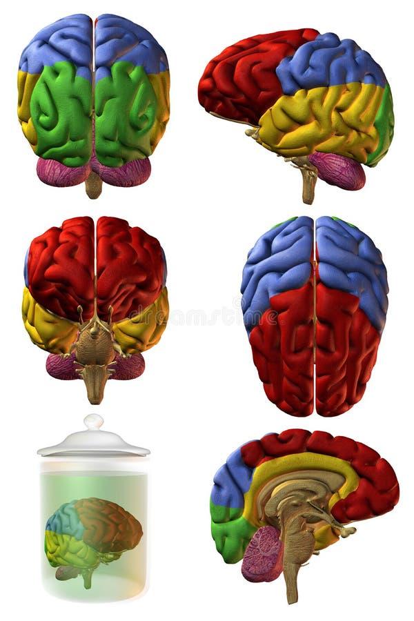 Menschliches Gehirn 3D stock abbildung. Illustration von matt - 6998669