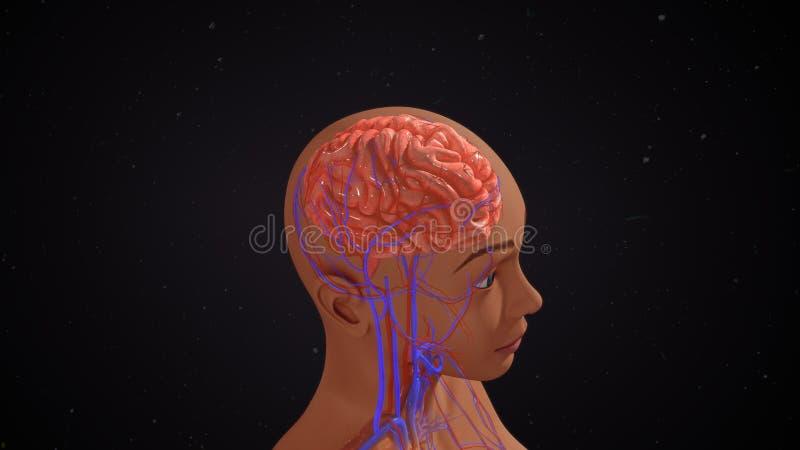 Menschliches Gehirn stockfoto