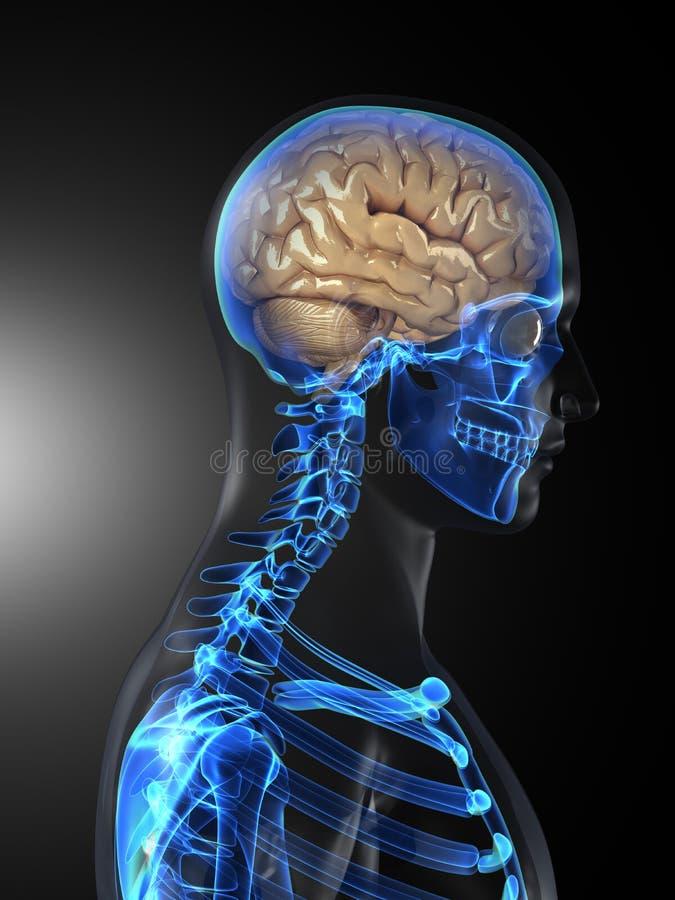 Menschliches Gehirn-medizinischer Scan stock abbildung