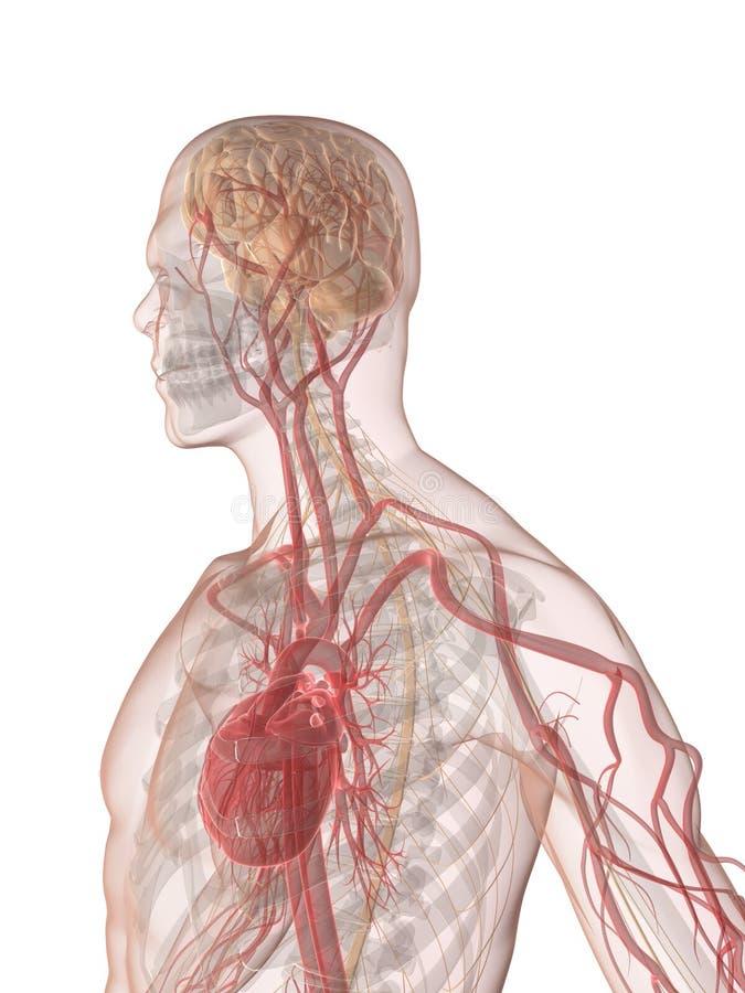 Menschliches Gehirn Und Inneres Stock Abbildung - Illustration von ...