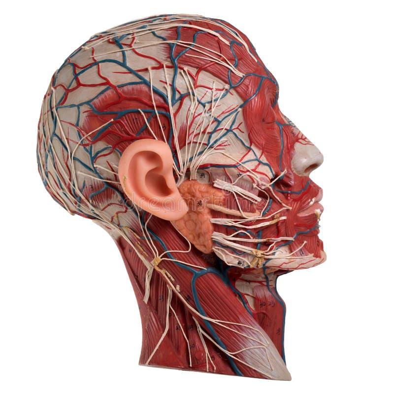 Menschliches Gesichts-Anatomie Stockbild - Bild von muskulös ...