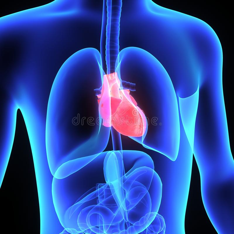 Menschliches Herz lizenzfreie abbildung