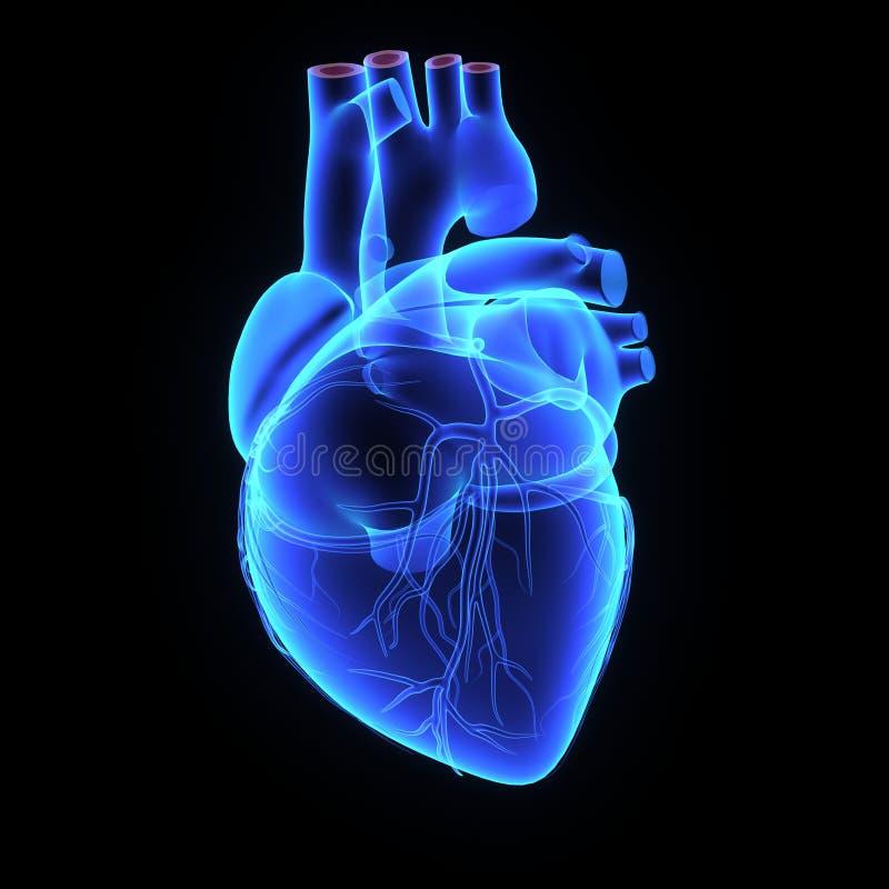 Menschliches Herz vektor abbildung