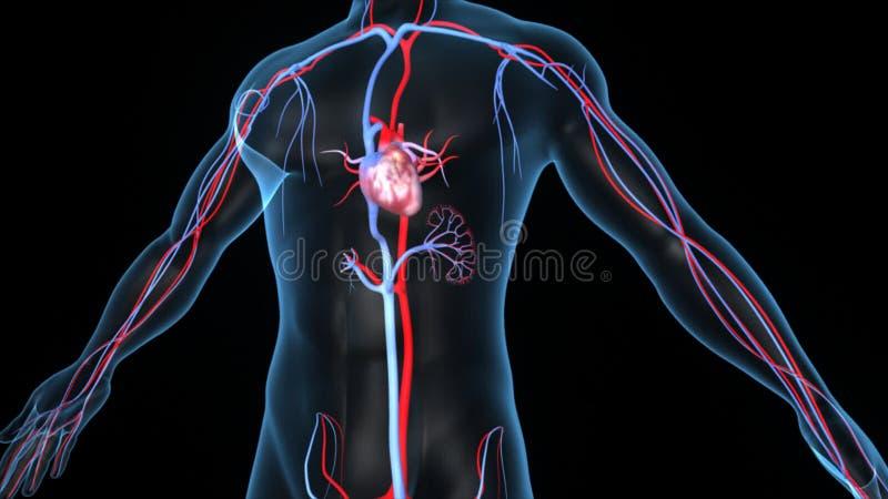 Menschliches Herz stock footage. Illustration von blut - 49501274