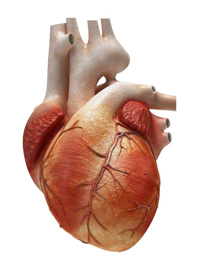 Menschliches Herz lokalisiert lizenzfreie abbildung